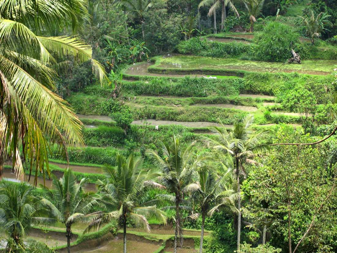 Ubud rice terraces indonesia voyager boh me for Tegalalang rice terrace ubud