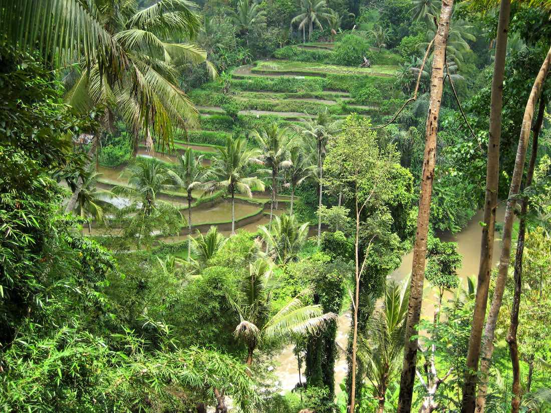ubud rice terraces
